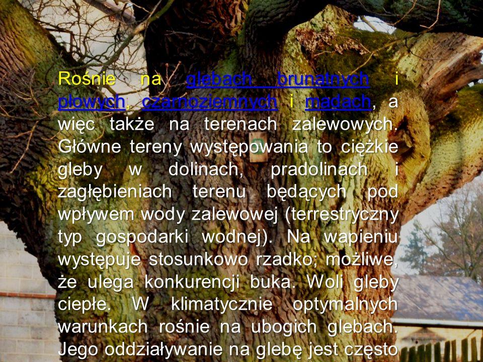Obserwacje w jednogatunkowych drzewostanach wskazują, iż z uwagi na świetlistą koronę gleba ulega zachwaszczeniu, a ściółka stosunkowo powolnemu rozkładowi.
