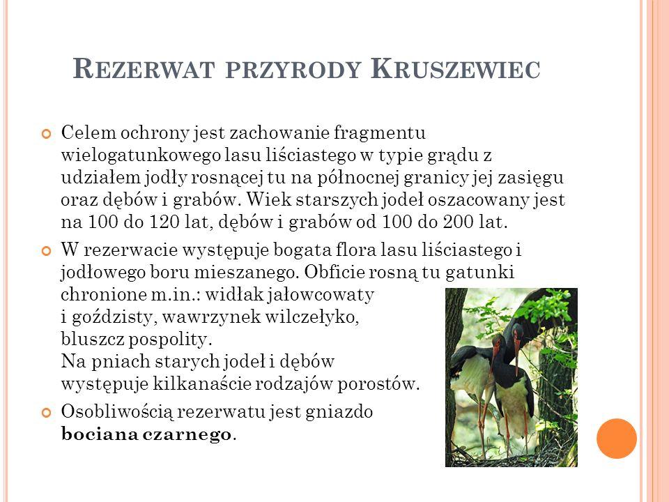 R EZERWAT PRZYRODY K RUSZEWIEC Celem ochrony jest zachowanie fragmentu wielogatunkowego lasu liściastego w typie grądu z udziałem jodły rosnącej tu na północnej granicy jej zasięgu oraz dębów i grabów.