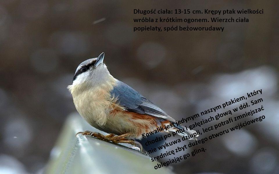 Długość ciała: 13-15 cm.Krępy ptak wielkości wróbla z krótkim ogonem.