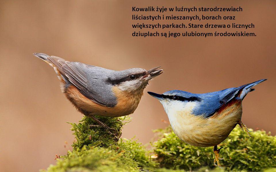 Długość ciała: 13-15 cm. Krępy ptak wielkości wróbla z krótkim ogonem.