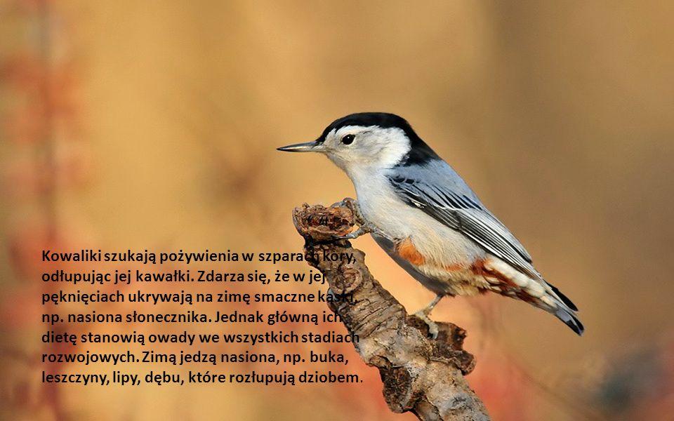 Ptak ten gnieździ się w dziuplach lub budkach lęgowych dostosowując otwór wejściowy do swoich rozmiarów (35mm średnicy) poprzez obmurowywanie go.