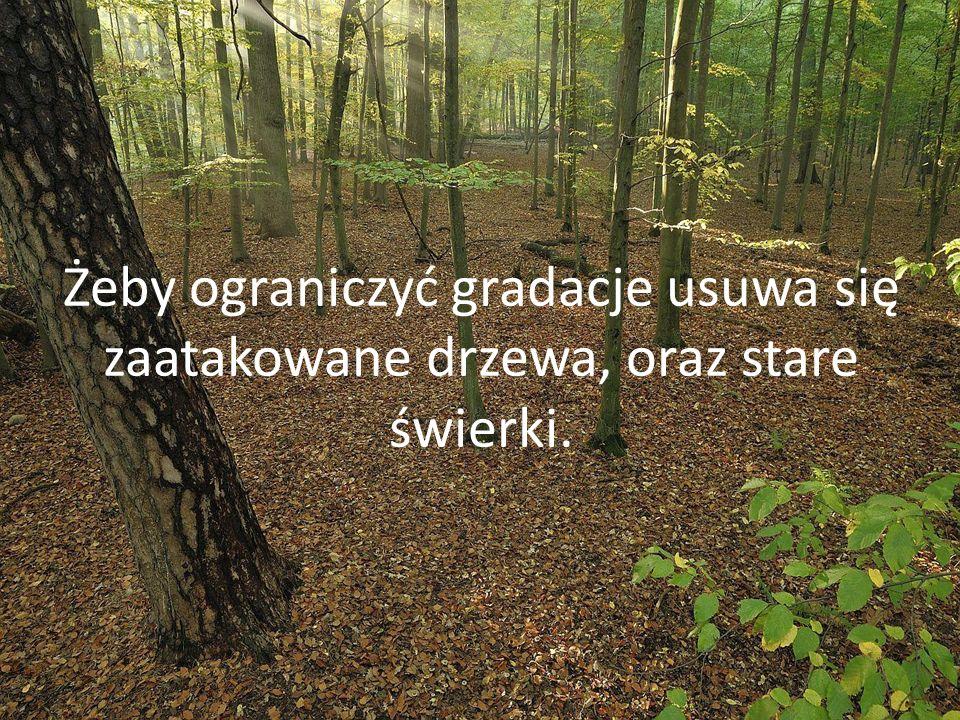 Żeby ograniczyć gradacje usuwa się zaatakowane drzewa, oraz stare świerki.