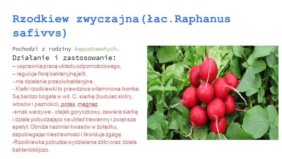 Rzodkiew zwyczajna(łac.Raphanus safivvs) Pochodzi z rodziny kapustowatych. Działanie i zastosowanie: – usprawnia pracę układu odpornościowego, – regul