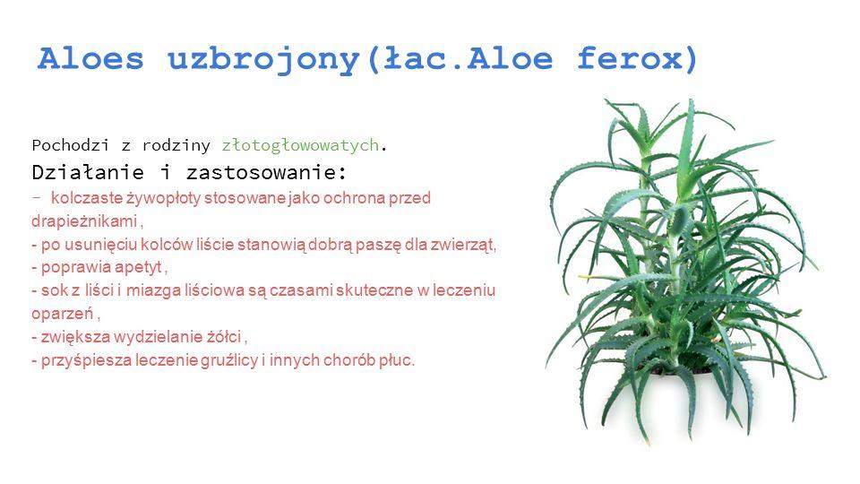 Aloes uzbrojony(łac.Aloe ferox) Pochodzi z rodziny złotogłowowatych. Działanie i zastosowanie: - kolczaste żywopłoty stosowane jako ochrona przed drap