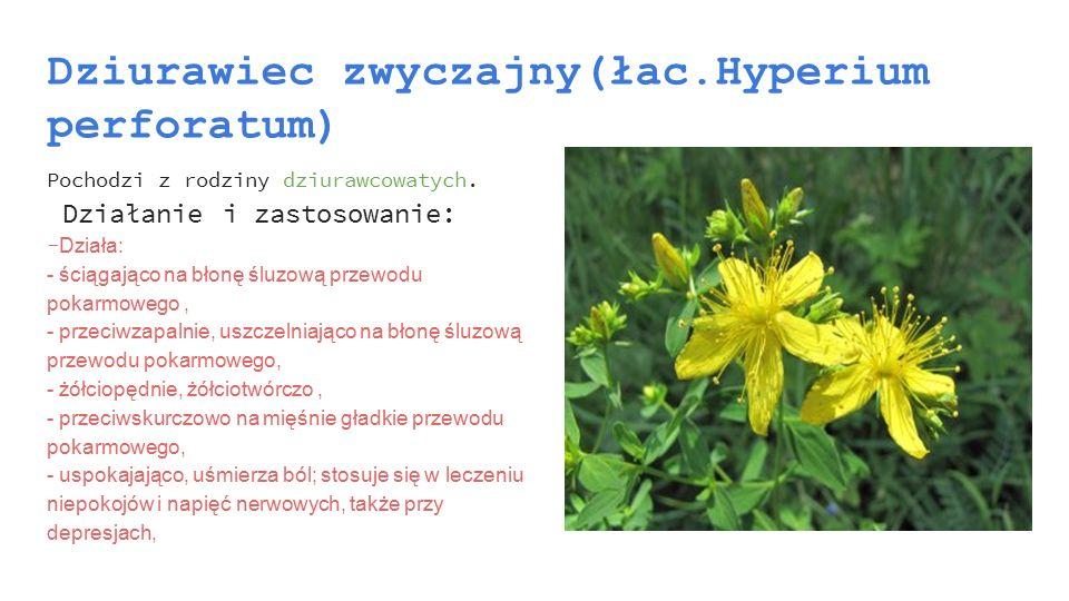 Dziurawiec zwyczajny(łac.Hyperium perforatum) Pochodzi z rodziny dziurawcowatych. Działanie i zastosowanie: - Działa: - ściągająco na błonę śluzową pr