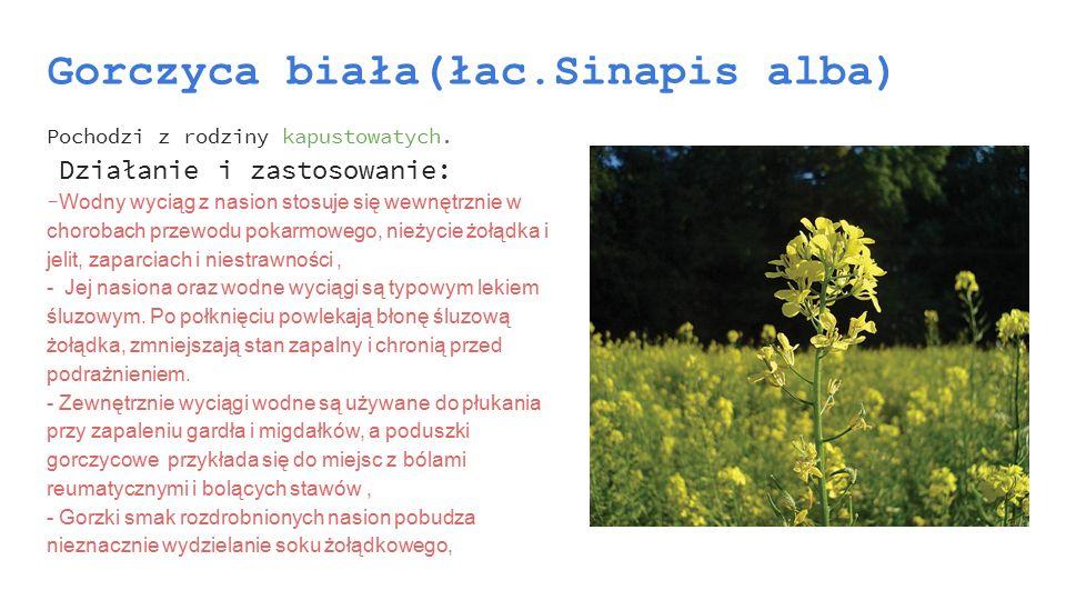 Gorczyca biała(łac.Sinapis alba) Pochodzi z rodziny kapustowatych. Działanie i zastosowanie: - Wodny wyciąg z nasion stosuje się wewnętrznie w choroba