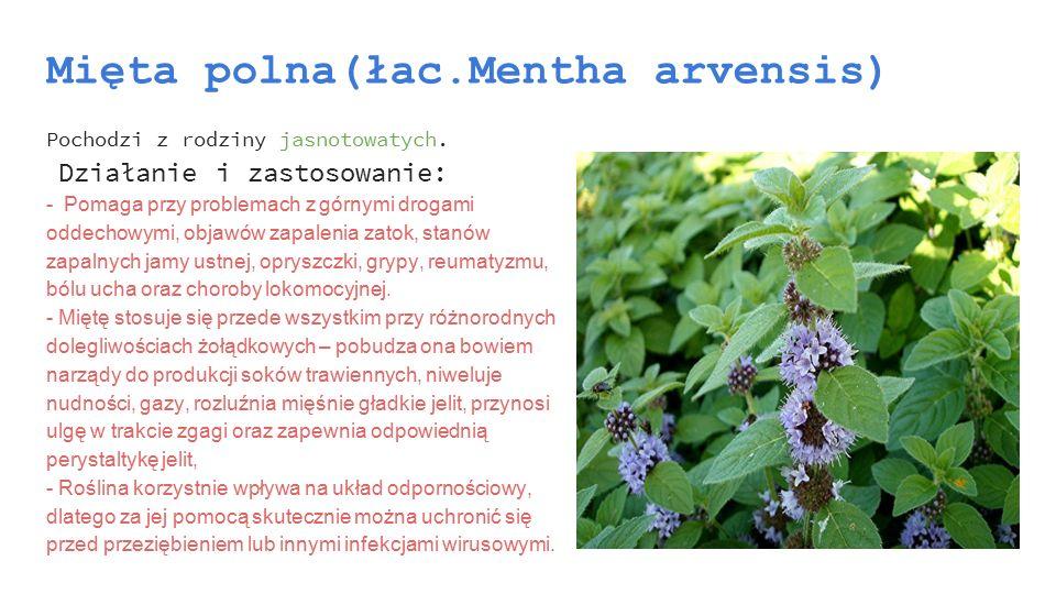 Mięta polna(łac.Mentha arvensis) Pochodzi z rodziny jasnotowatych. Działanie i zastosowanie: - Pomaga przy problemach z górnymi drogami oddechowymi, o