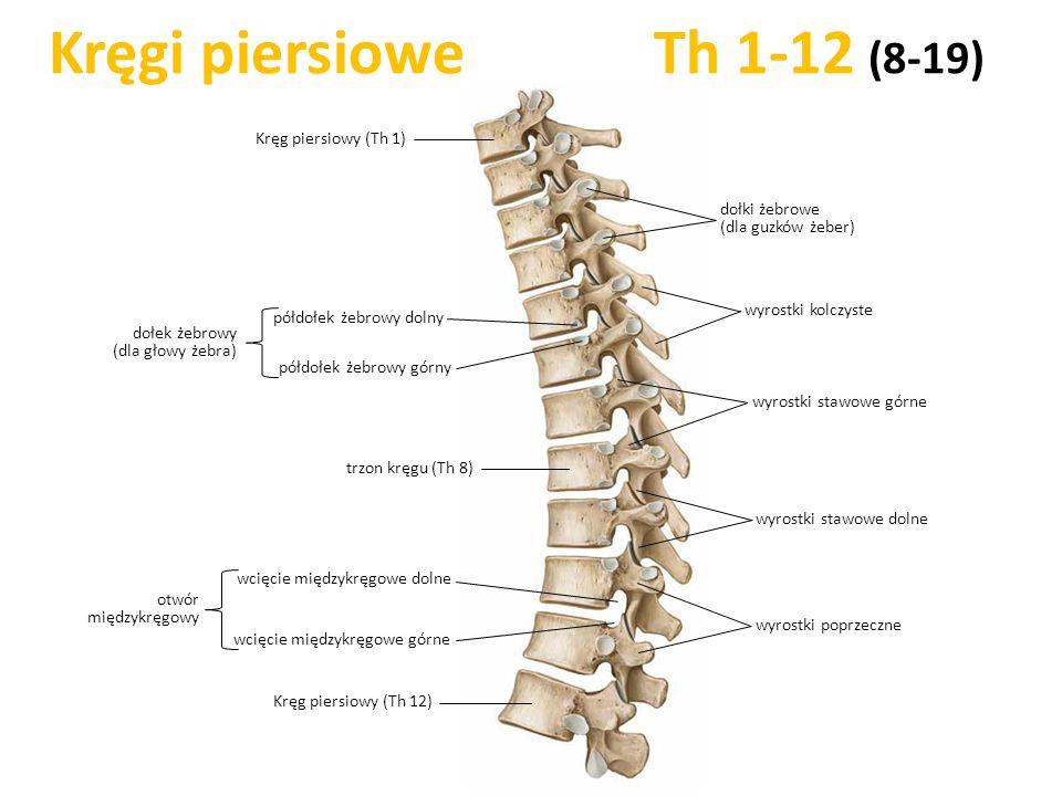 Kręgi piersiowe Th 1-12 (8-19) trzon kręgu (Th 8) wyrostki poprzeczne wyrostki kolczyste Kręg piersiowy (Th 12) półdołek żebrowy dolny dołki żebrowe (