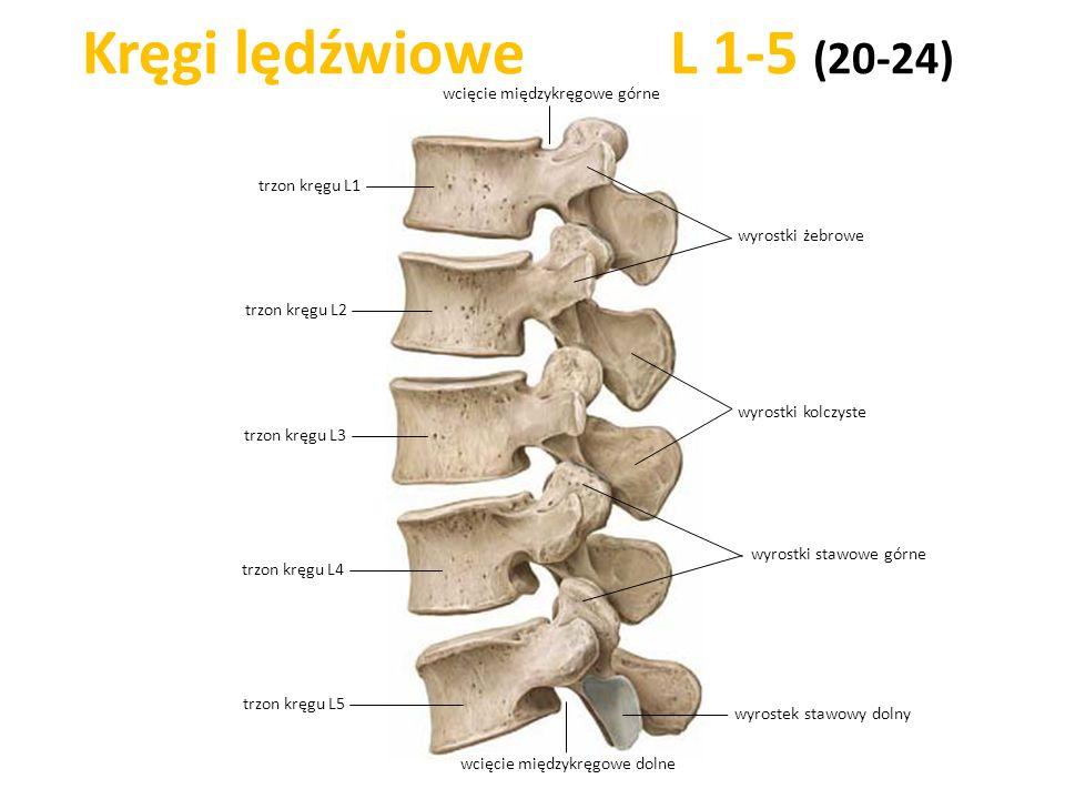 Kręgi lędźwiowe L 1-5 (20-24) trzon kręgu L1 trzon kręgu L5 trzon kręgu L4 trzon kręgu L3 wyrostki kolczyste trzon kręgu L2 wyrostki stawowe górne wyr