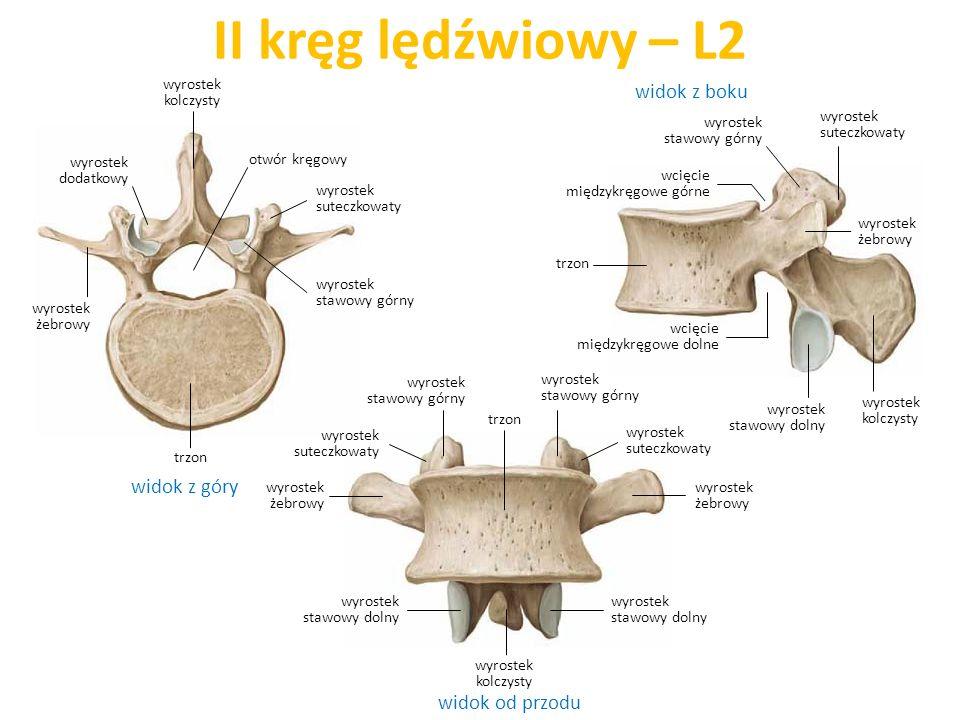 II kręg lędźwiowy – L2 widok z góry widok od przodu widok z boku wyrostek suteczkowaty trzon wcięcie międzykręgowe dolne wyrostek stawowy dolny wyrost
