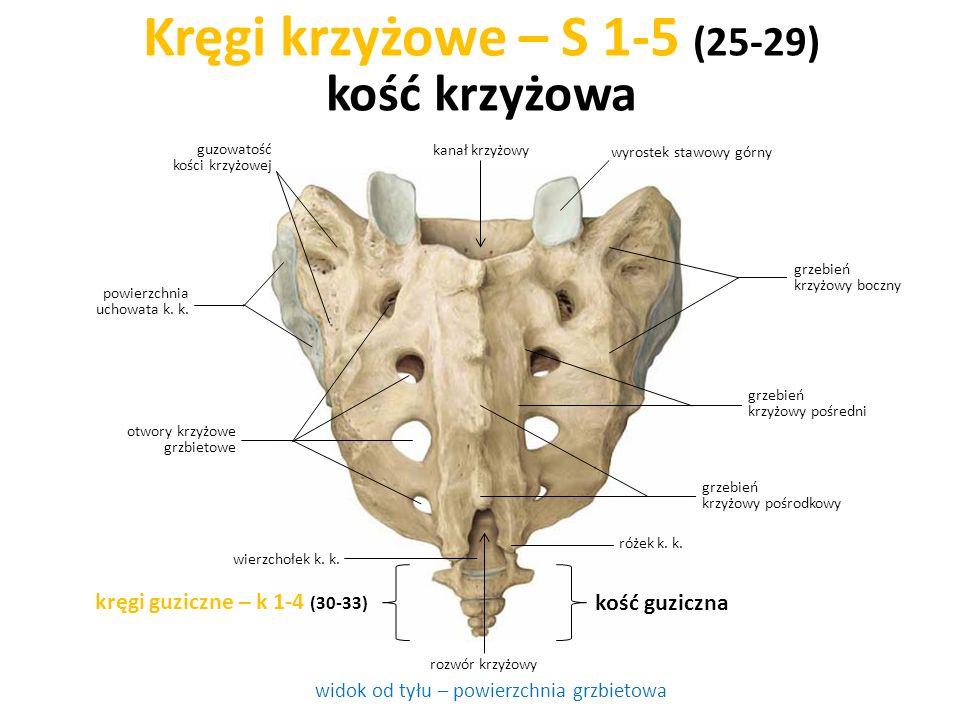 Kręgi krzyżowe – S 1-5 (25-29) kość krzyżowa widok od tyłu – powierzchnia grzbietowa kręgi guziczne – k 1-4 (30-33) kość guziczna rozwór krzyżowy otwo
