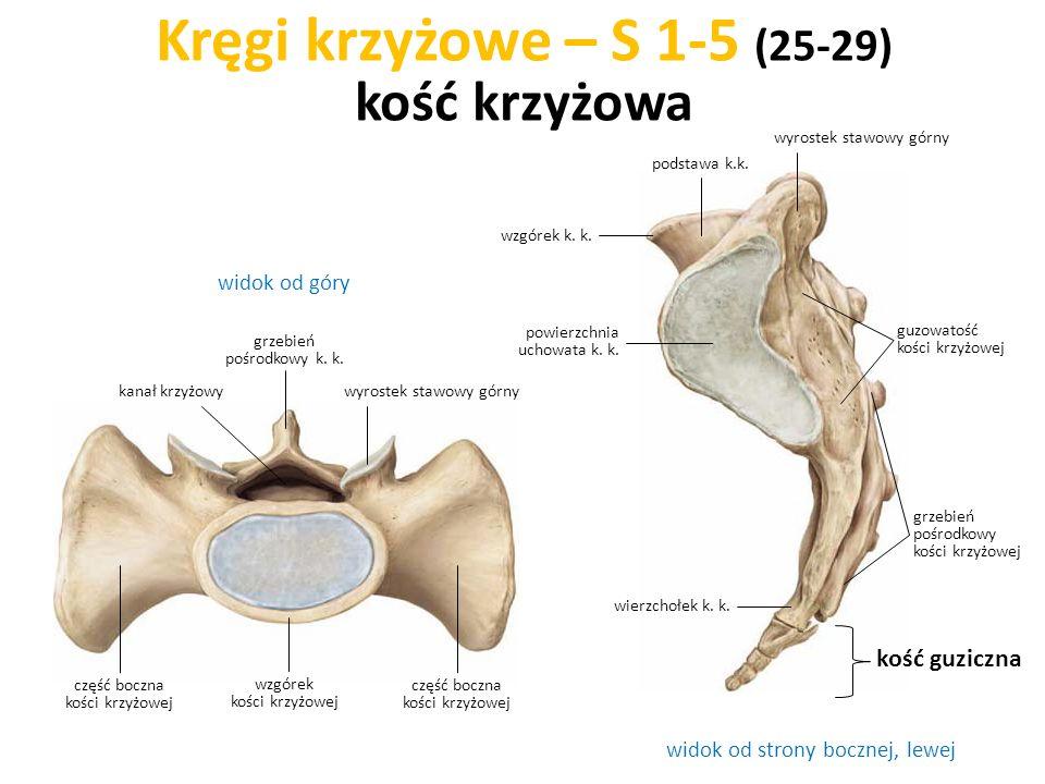 Kręgi krzyżowe – S 1-5 (25-29) kość krzyżowa widok od strony bocznej, lewej widok od góry kość guziczna wzgórek k. k. podstawa k.k. powierzchnia uchow