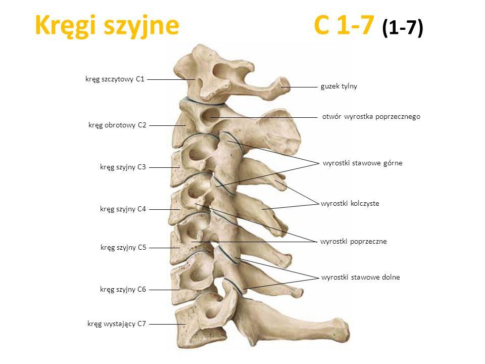 Kręgi szyjne C 1-7 (1-7) kręg szczytowy C1 kręg szyjny C6 kręg wystający C7 kręg szyjny C5 kręg szyjny C4 kręg szyjny C3 wyrostki kolczyste kręg obrot