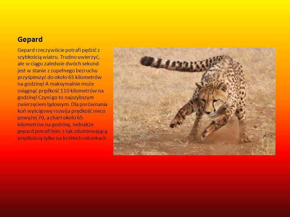 Gepard Gepard rzeczywiście potrafi pędzić z szybkością wiatru.