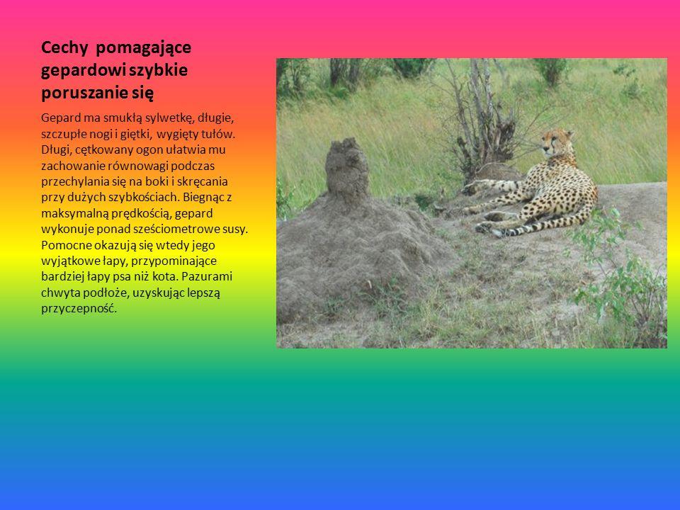 Cechy pomagające gepardowi szybkie poruszanie się Gepard ma smukłą sylwetkę, długie, szczupłe nogi i giętki, wygięty tułów.