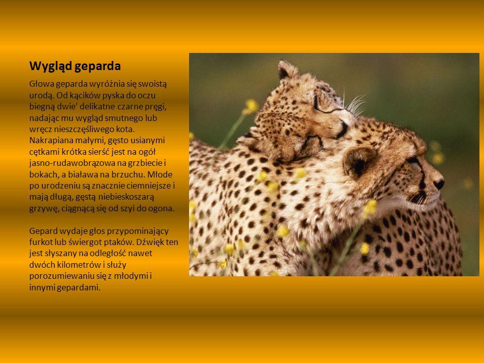 Wygląd geparda Głowa geparda wyróżnia się swoistą urodą.