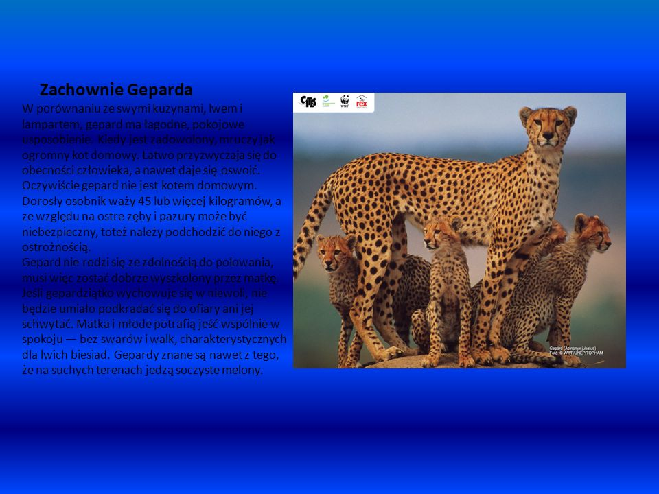 Zachownie Geparda W porównaniu ze swymi kuzynami, lwem i lampartem, gepard ma łagodne, pokojowe usposobienie.