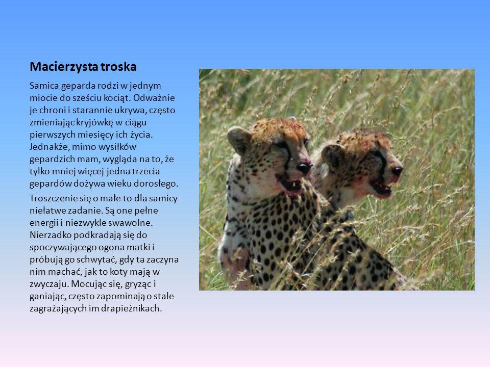 Macierzysta troska Samica geparda rodzi w jednym miocie do sześciu kociąt.