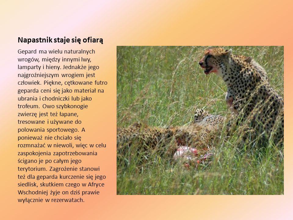 Napastnik staje się ofiarą Gepard ma wielu naturalnych wrogów, między innymi lwy, lamparty i hieny.