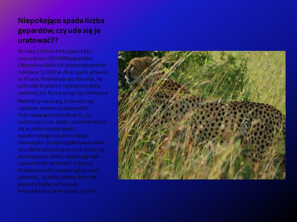 Niepokojąco spada liczba gepardów, czy uda się je uratować .