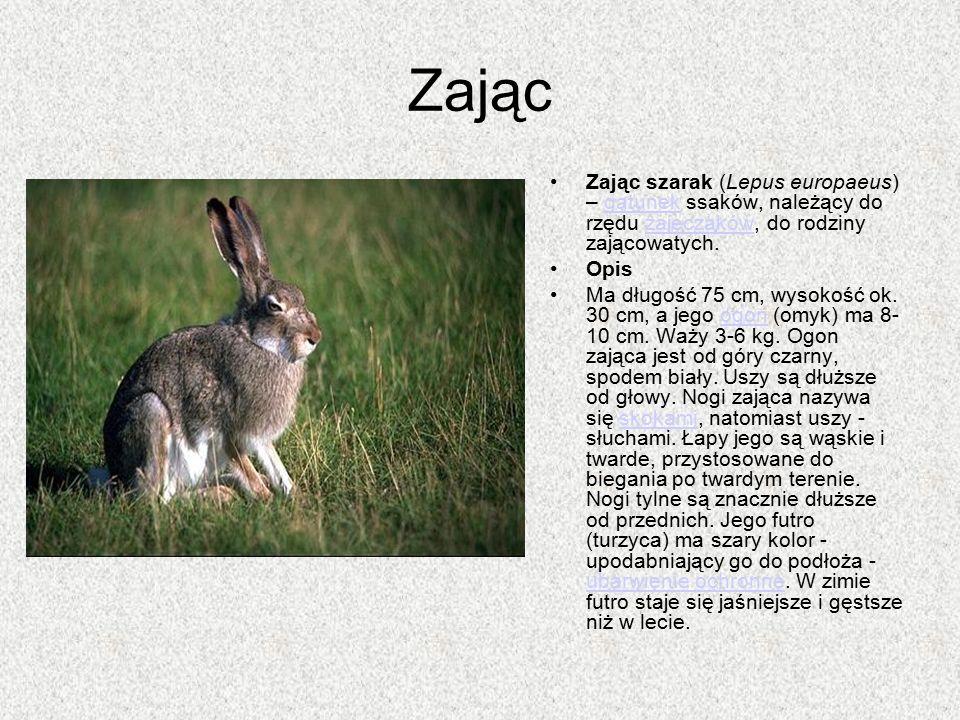 Zając Zając szarak (Lepus europaeus) – gatunek ssaków, należący do rzędu zajęczaków, do rodziny zającowatych.gatunekzajęczaków Opis Ma długość 75 cm,