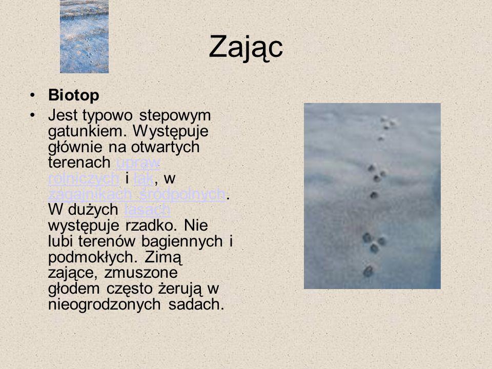 Zając Biotop Jest typowo stepowym gatunkiem. Występuje głównie na otwartych terenach upraw rolniczych i łąk, w zagajnikach śródpolnych. W dużych lasac