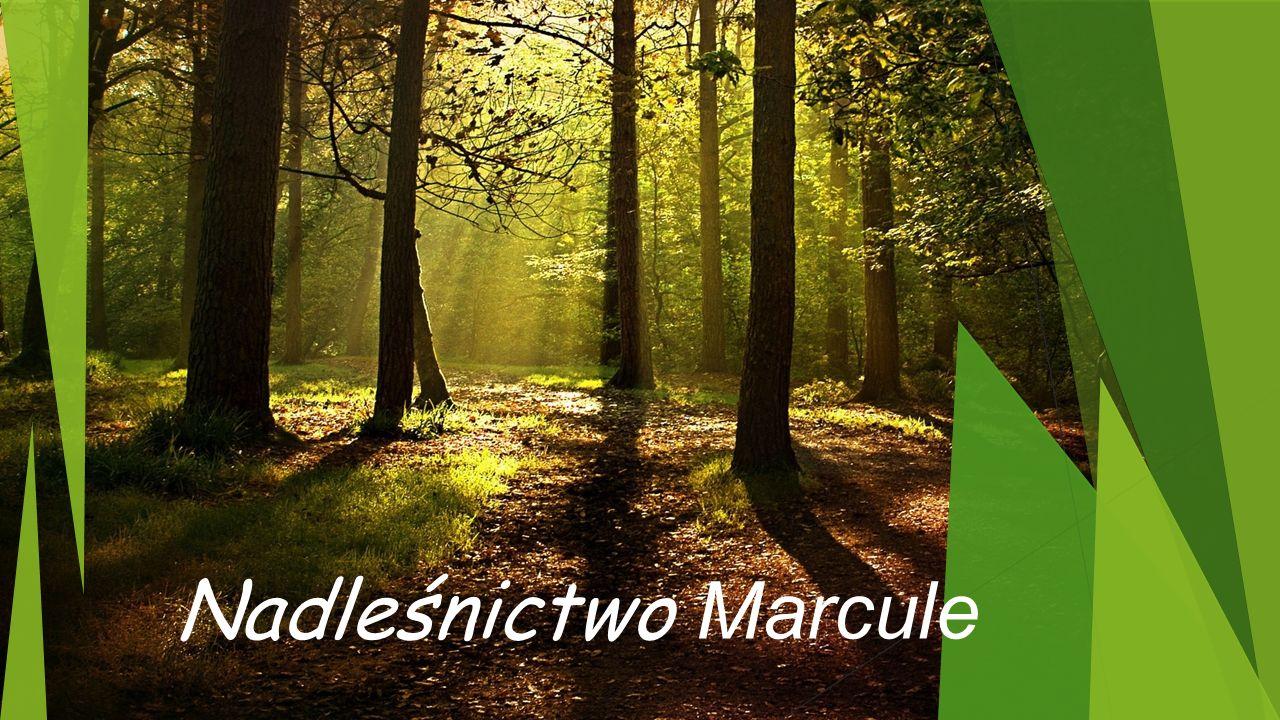 Nadleśnictwo Marcule
