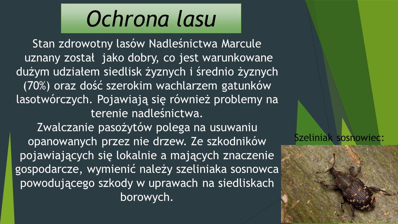 Ochrona lasu Stan zdrowotny lasów Nadleśnictwa Marcule uznany został jako dobry, co jest warunkowane dużym udziałem siedlisk żyznych i średnio żyznych (70%) oraz dość szerokim wachlarzem gatunków lasotwórczych.