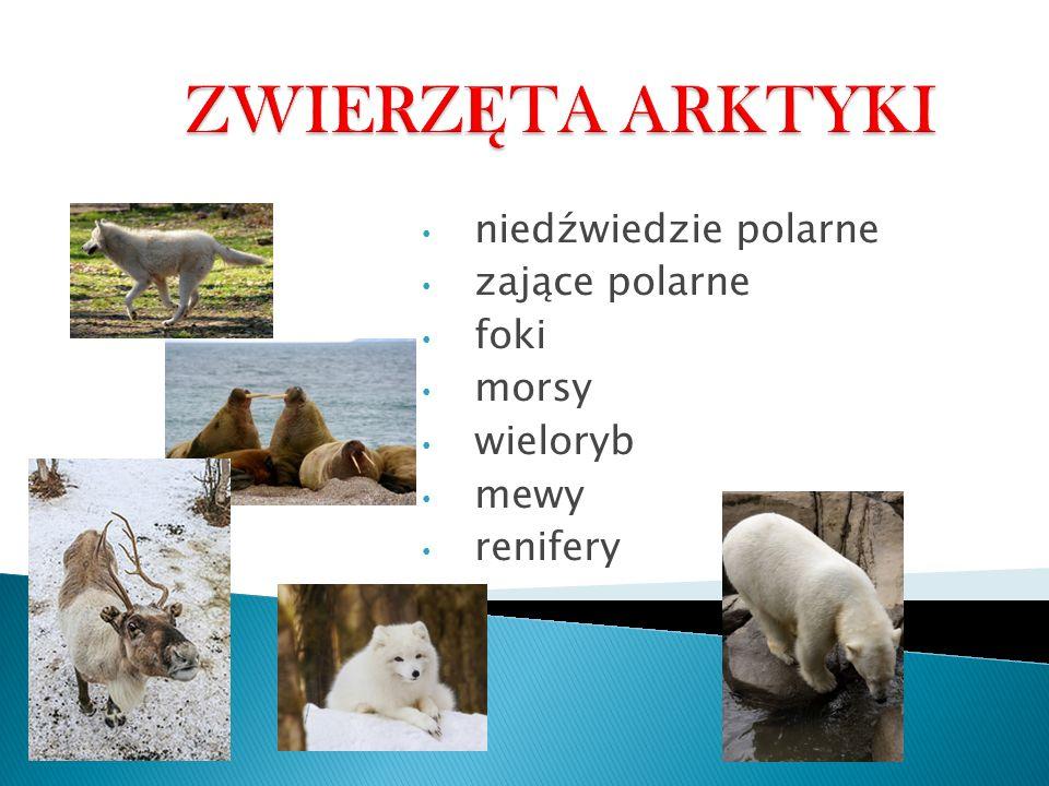 niedźwiedzie polarne zające polarne foki morsy wieloryb mewy renifery