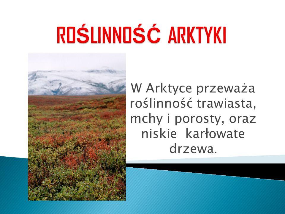 W Arktyce przeważa roślinność trawiasta, mchy i porosty, oraz niskie karłowate drzewa.