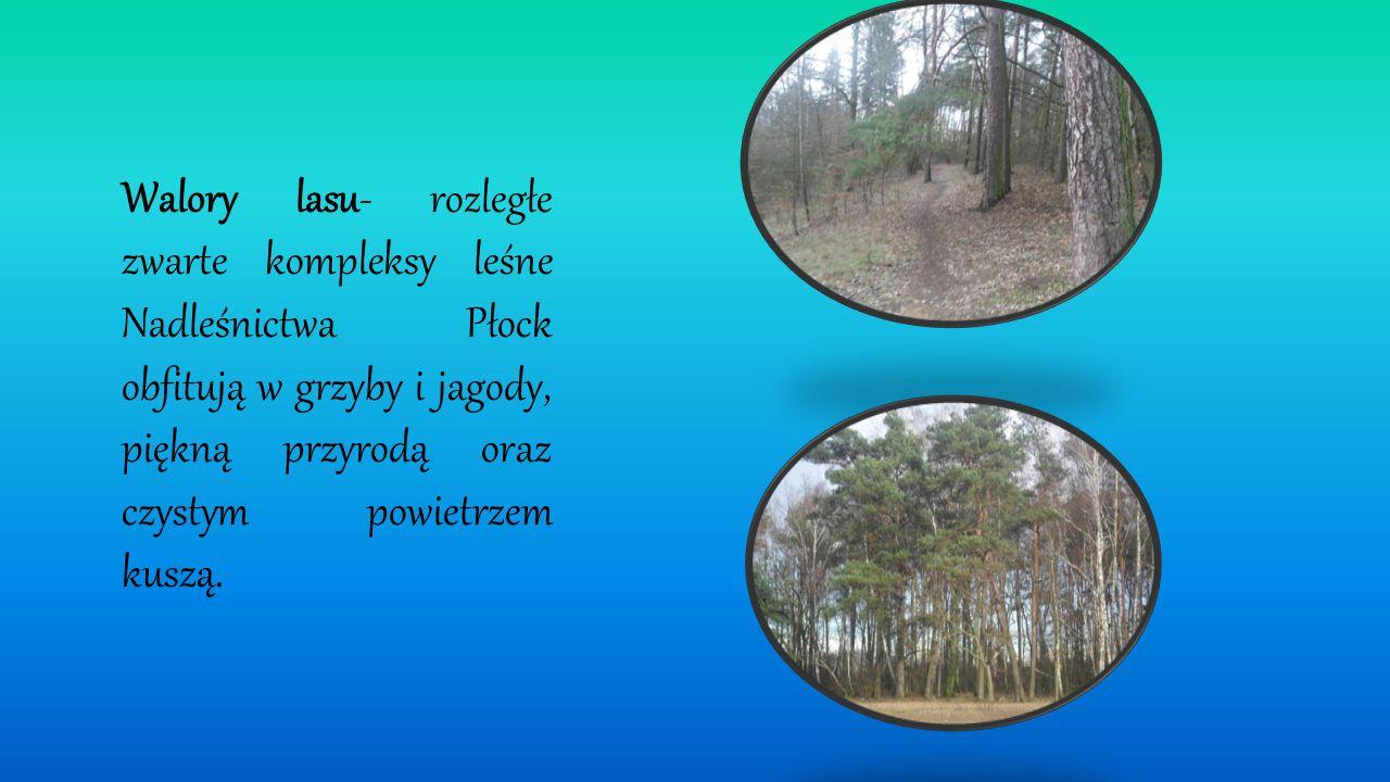 Walory lasu- rozległe zwarte kompleksy leśne Nadleśnictwa Płock obfitują w grzyby i jagody, piękną przyrodą oraz czystym powietrzem kuszą.