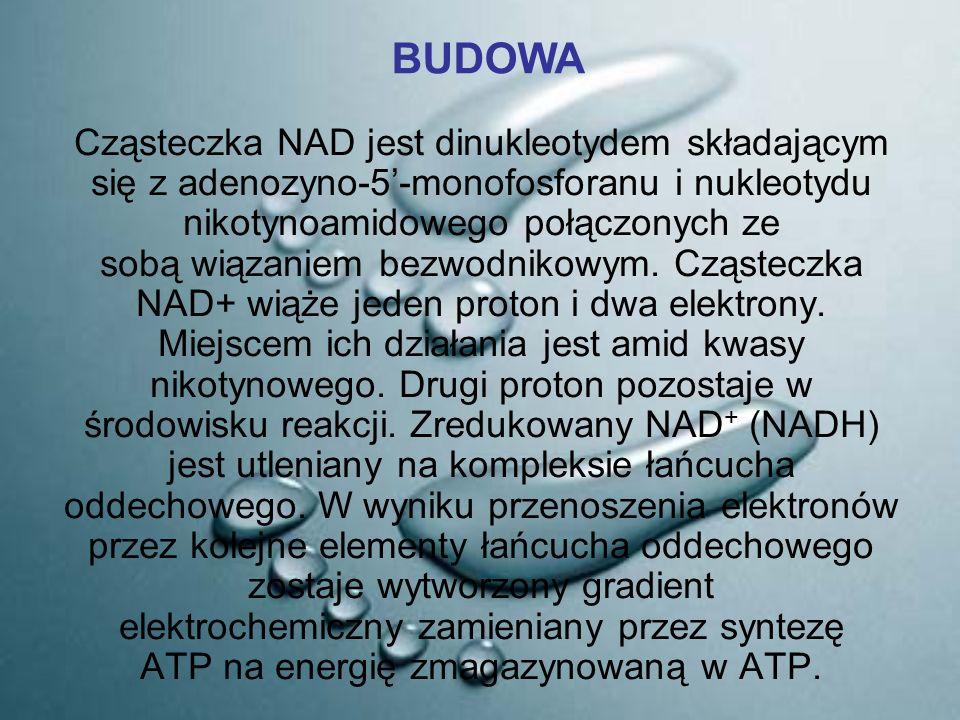 Cząsteczka NAD jest dinukleotydem składającym się z adenozyno-5'-monofosforanu i nukleotydu nikotynoamidowego połączonych ze sobą wiązaniem bezwodniko