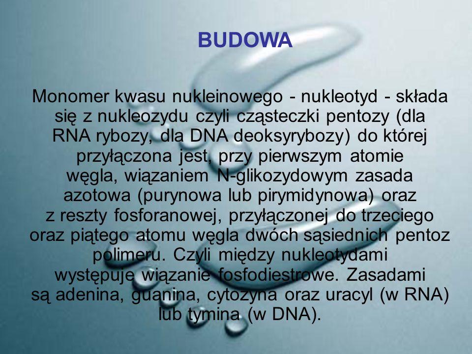 Monomer kwasu nukleinowego - nukleotyd - składa się z nukleozydu czyli cząsteczki pentozy (dla RNA rybozy, dla DNA deoksyrybozy) do której przyłączona
