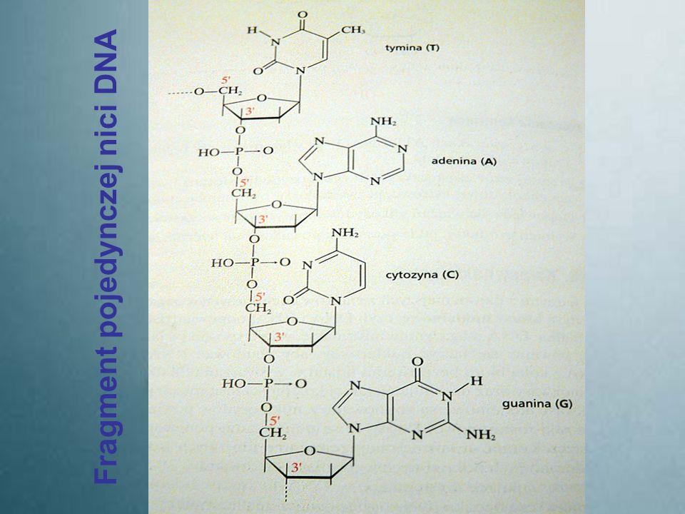 Fragment pojedynczej nici DNA