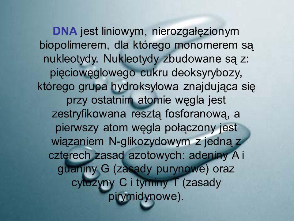 DNA jest liniowym, nierozgałęzionym biopolimerem, dla którego monomerem są nukleotydy. Nukleotydy zbudowane są z: pięciowęglowego cukru deoksyrybozy,