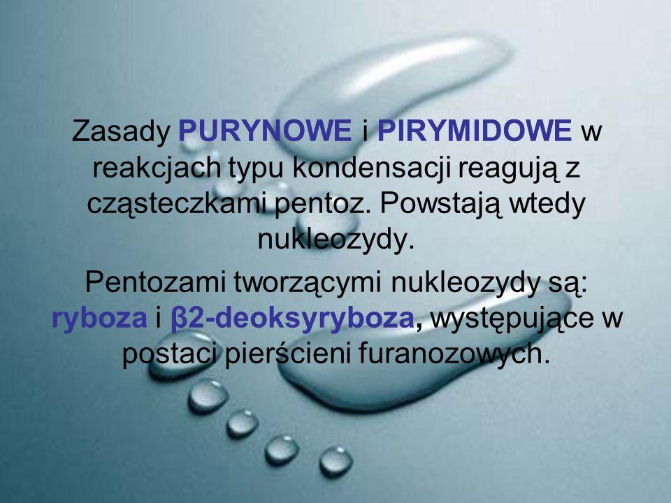 Zasady PURYNOWE i PIRYMIDOWE w reakcjach typu kondensacji reagują z cząsteczkami pentoz. Powstają wtedy nukleozydy. Pentozami tworzącymi nukleozydy są