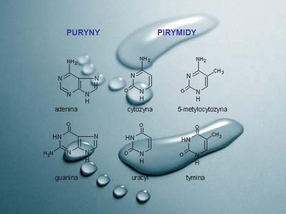 WAŻNIEJSZE NUKLEOZYDY ADENOZYNA Adenozyna odgrywa ważną rolę w wielu procesach biochemicznych: transport energii – jako trifosforan adenozyny (ATP) i difosforan adenozyny (ADP) przekazywanie informacji genetycznej – jako składnik RNA przekazywanie informacji w transdukcji sygnału – jako wtórny przekaźnik cAMP działa jako neuroprzekaźnik hamujący w ośrodkowym układzie nerwowym (OUN) uczestniczy w reakcjach metylacji jako S-adenozylometionina.