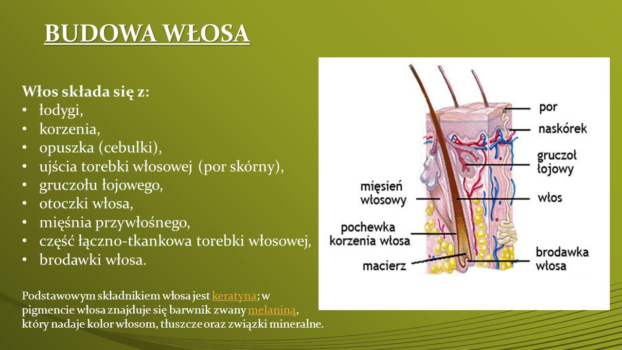 BUDOWA WŁOSA Włos składa się z: łodygi, korzenia, opuszka (cebulki), ujścia torebki włosowej (por skórny), gruczołu łojowego, otoczki włosa, mięśnia p