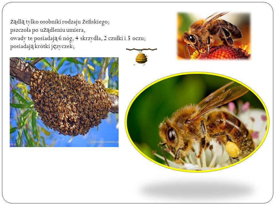 żą dl ą tylko osobniki rodzaju ż e ń skiego; pszczoła po u żą dleniu umiera, owady te posiadaj ą 6 nóg, 4 skrzydła, 2 czułki i 5 oczu; posiadaj ą krótki j ę zyczek;