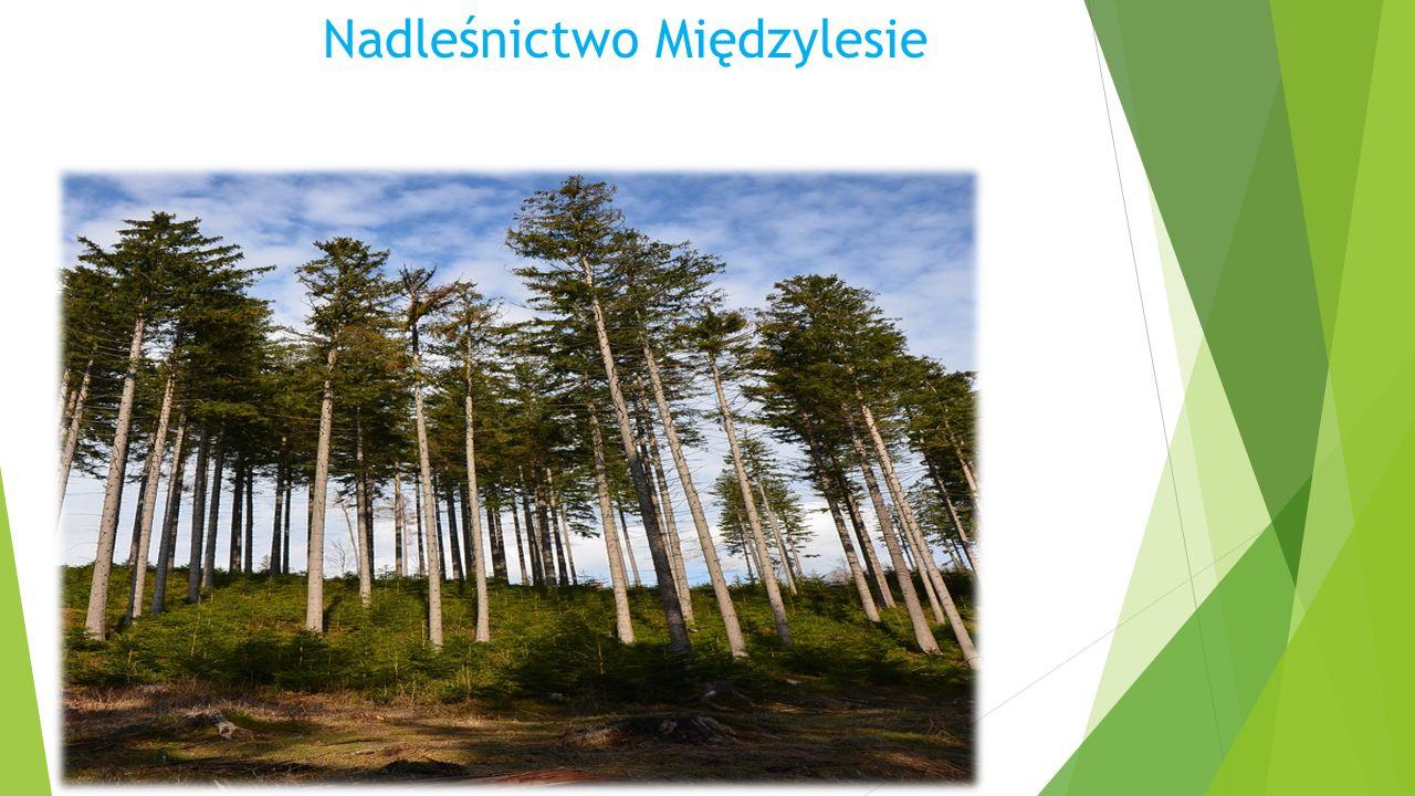 """""""Nadleśnictwo Międzylesie Znajduje się tu pewien obszar, który łączy nas to niewątpliwie nasz reglowy las."""