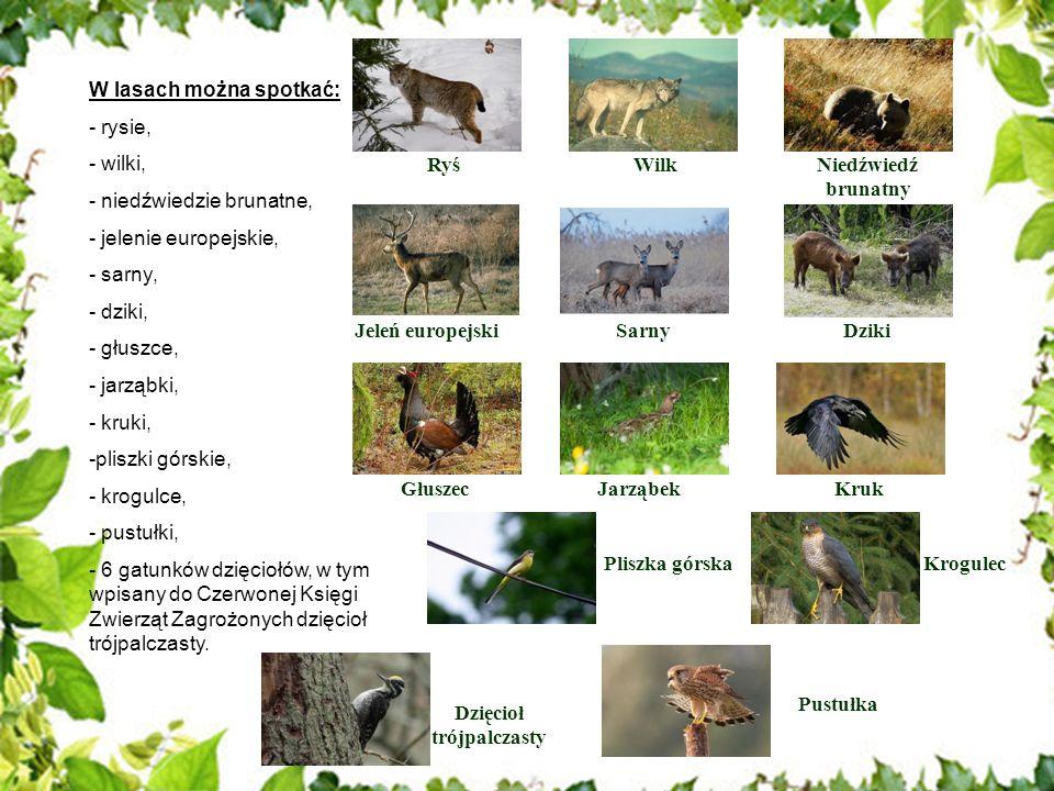 W lasach można spotkać: - rysie, - wilki, - niedźwiedzie brunatne, - jelenie europejskie, - sarny, - dziki, - głuszce, - jarząbki, - kruki, -pliszki g