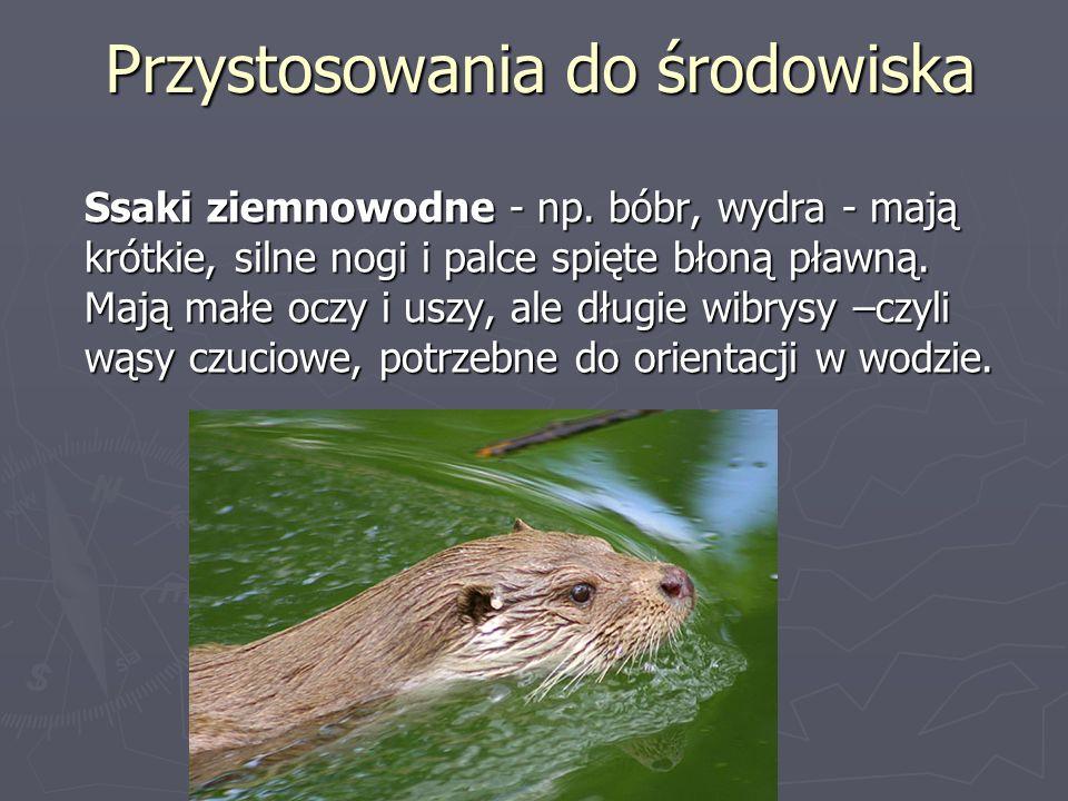 Przystosowania do środowiska Ssaki ziemnowodne - np. bóbr, wydra - mają krótkie, silne nogi i palce spięte błoną pławną. Mają małe oczy i uszy, ale dł