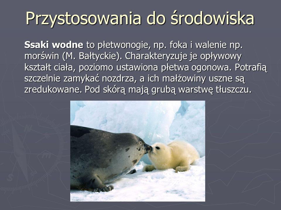 Przystosowania do środowiska Ssaki wodne to płetwonogie, np. foka i walenie np. morświn (M. Bałtyckie). Charakteryzuje je opływowy kształt ciała, pozi