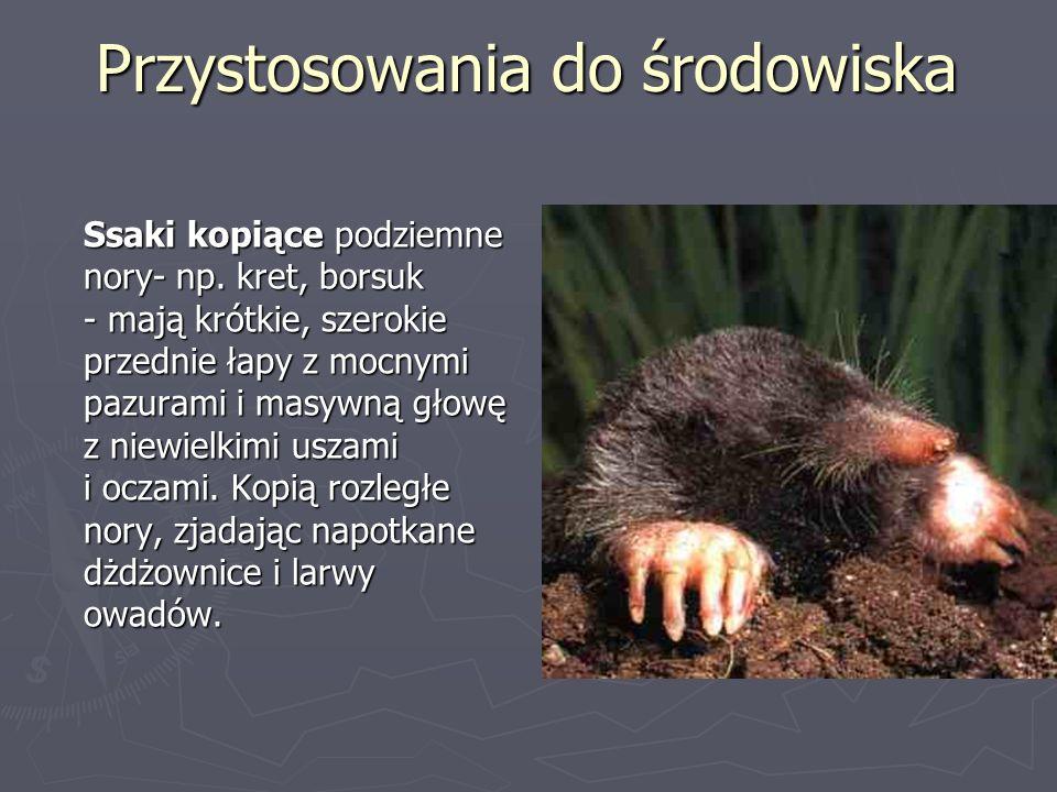 Przystosowania do środowiska Ssaki kopiące podziemne nory- np. kret, borsuk - mają krótkie, szerokie przednie łapy z mocnymi pazurami i masywną głowę