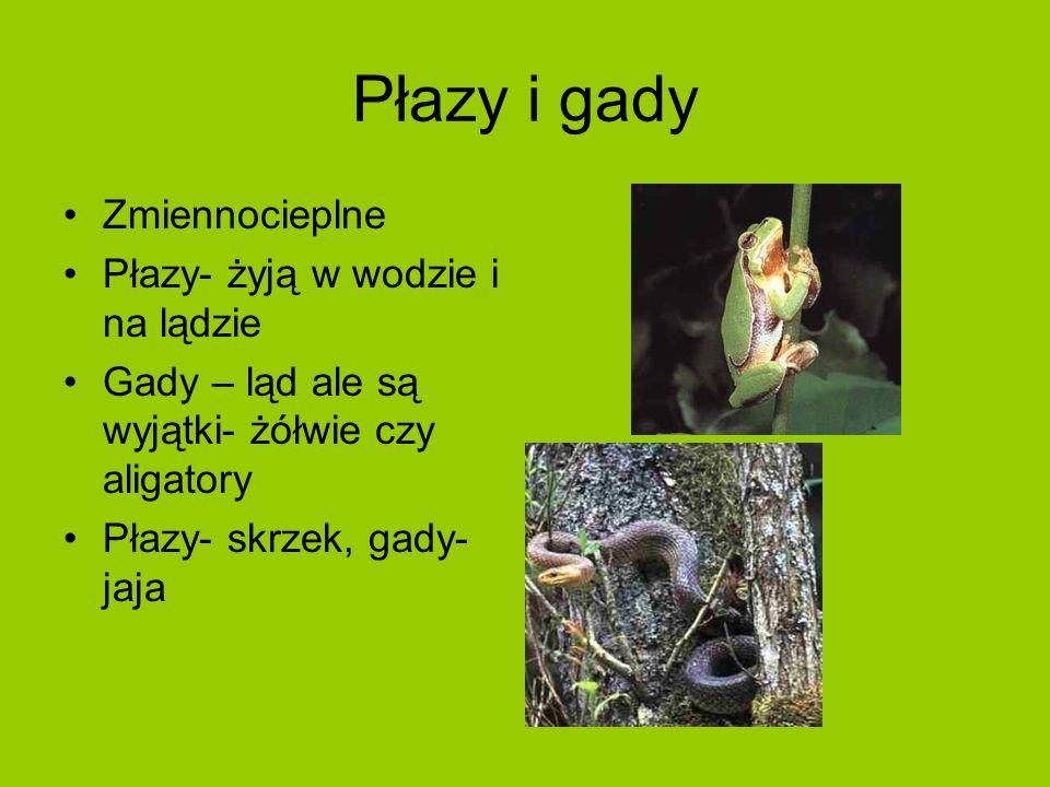 Płazy i gady Zmiennocieplne Płazy- żyją w wodzie i na lądzie Gady – ląd ale są wyjątki- żółwie czy aligatory Płazy- skrzek, gady- jaja
