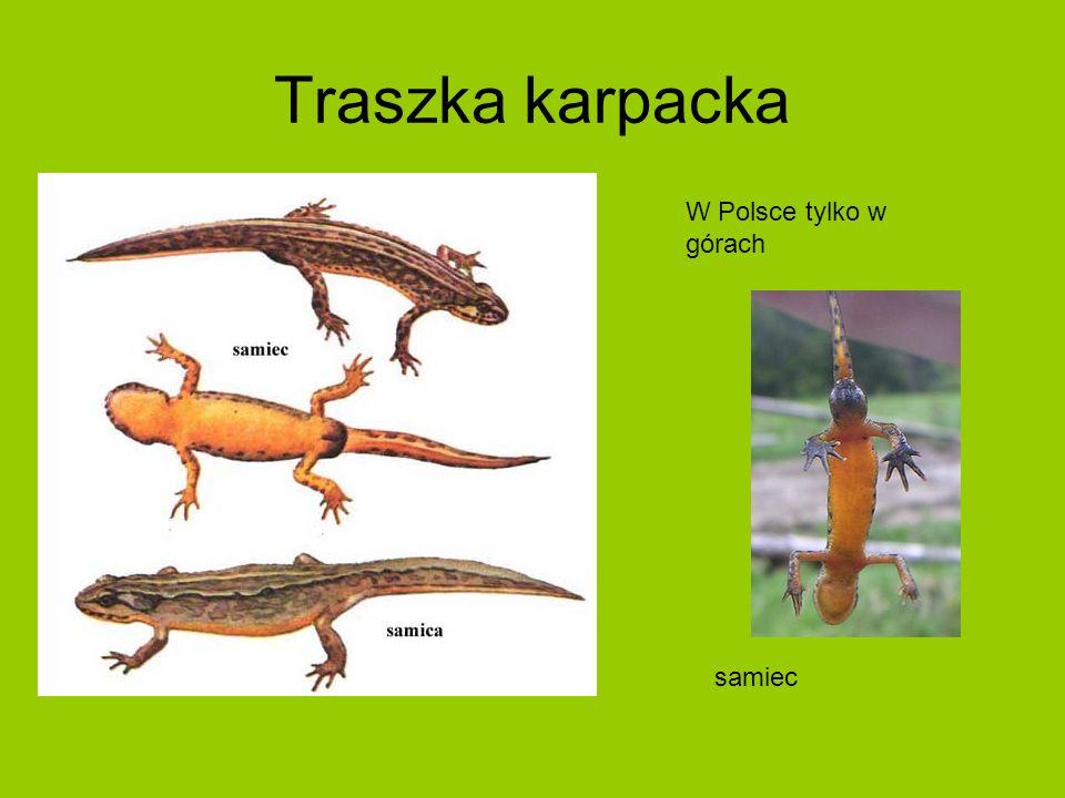 Traszka karpacka samiec W Polsce tylko w górach