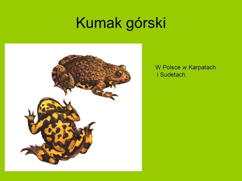 Kumak górski W Polsce w Karpatach i Sudetach.