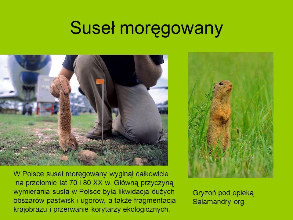 Suseł moręgowany W Polsce suseł moręgowany wyginął całkowicie na przełomie lat 70 i 80 XX w.