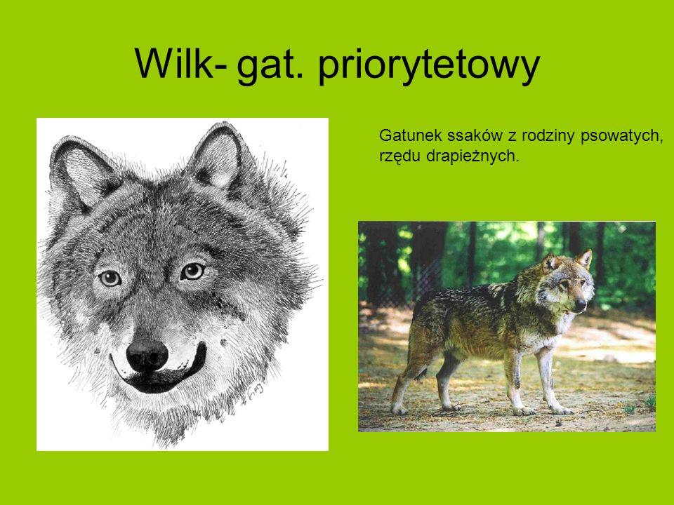Wilk- gat. priorytetowy Gatunek ssaków z rodziny psowatych, rzędu drapieżnych.