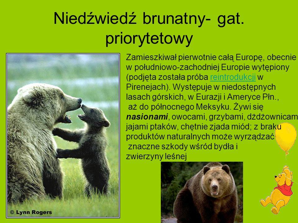 Niedźwiedź brunatny- gat.